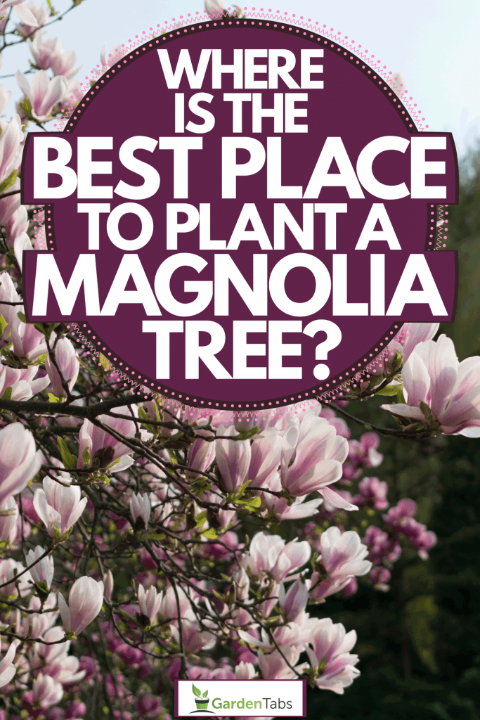 An up close photo of the blooming flowers of a magnolia tree, Where Is The Best Place To Plant A Magnolia Tree?