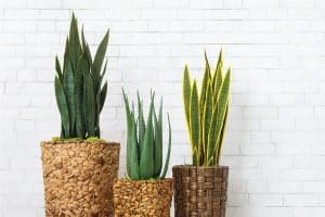 three snake plants on pots inside a white painted home. 5 Common Snake Plant Diseases and Pests