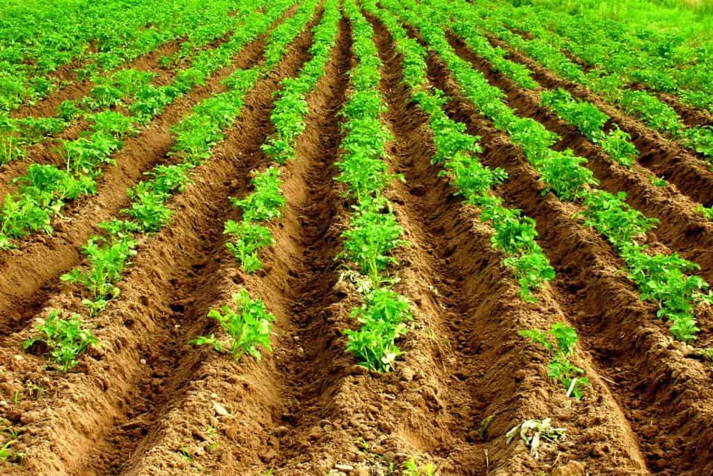A huge plantation of potatoes