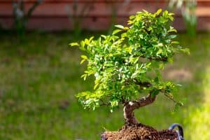 Chinese Elm Bonsai Tree outdoors in the sunshine, Do Chinese Elms Lose Their Leaves?