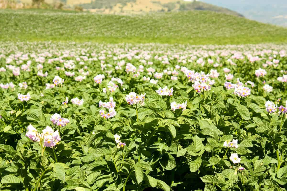 Fields planted with potatoes in bloom