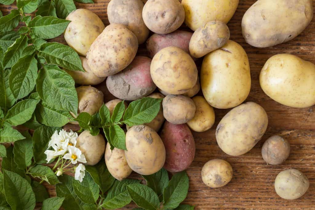 Freshly harvested potatoes and leaves placed on the table