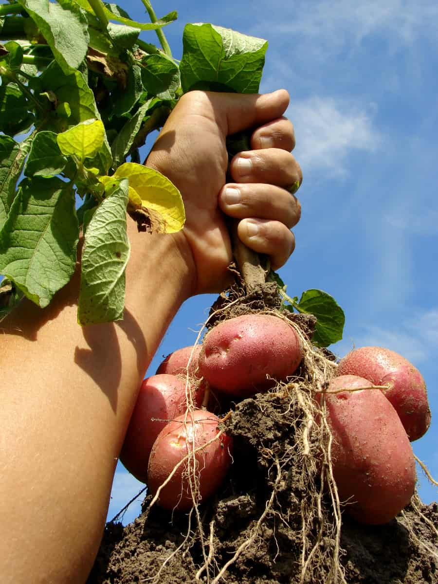 Hand with potato plant