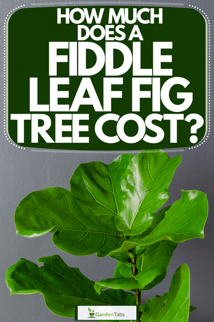 A gorgeous fiddle leaf fig tree inside a gray wall living room, How Much Does A Fiddle Leaf Fig Tree Cost?