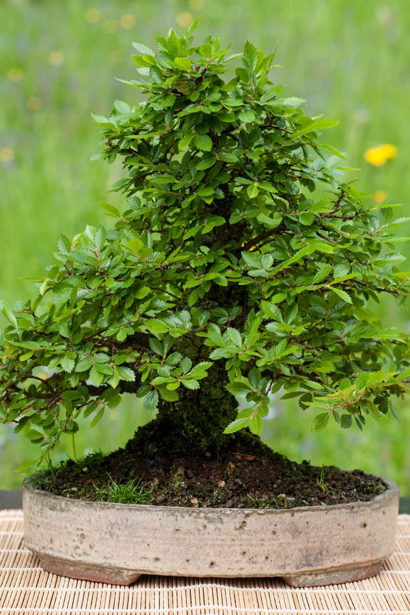 Little chinese elm (Ulmus parvifolia) as bonsai tree