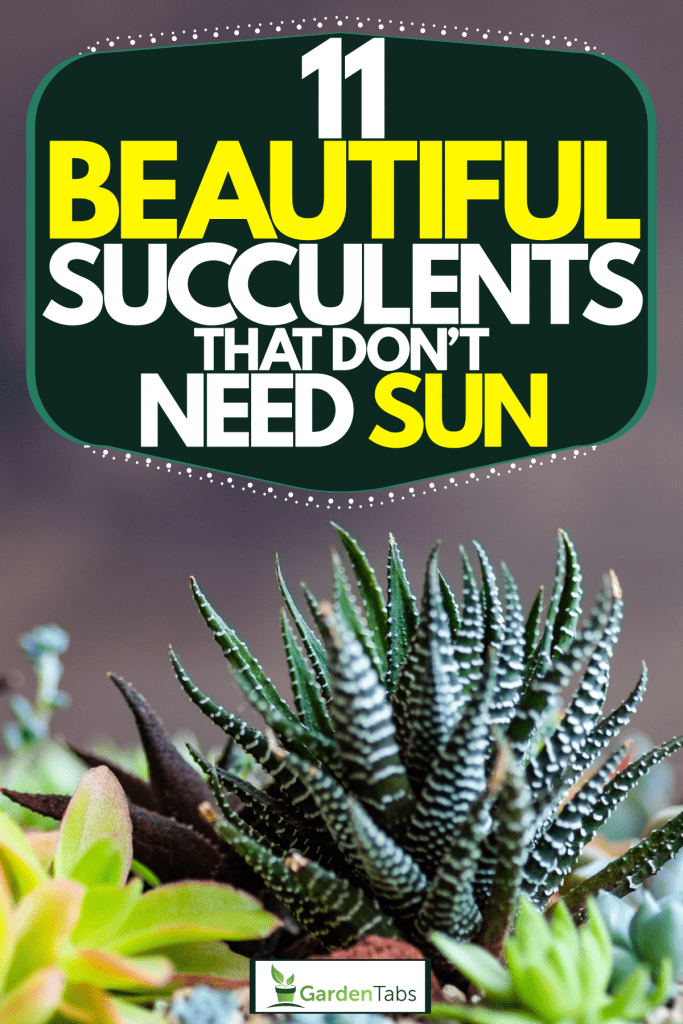 Gorgeous Zebra plants planted on a large pot, 11 Beautiful Succulents That Don't Need Sun