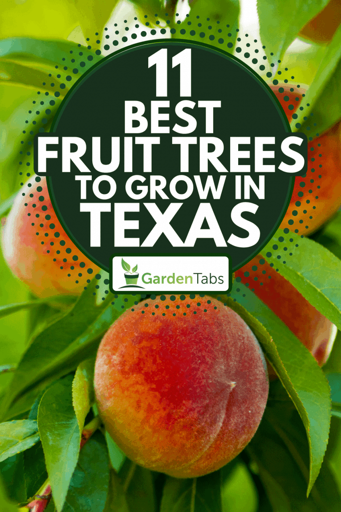 A close up of ripe peaches on a tree, 11 Best Fruit Trees To Grow In Texas