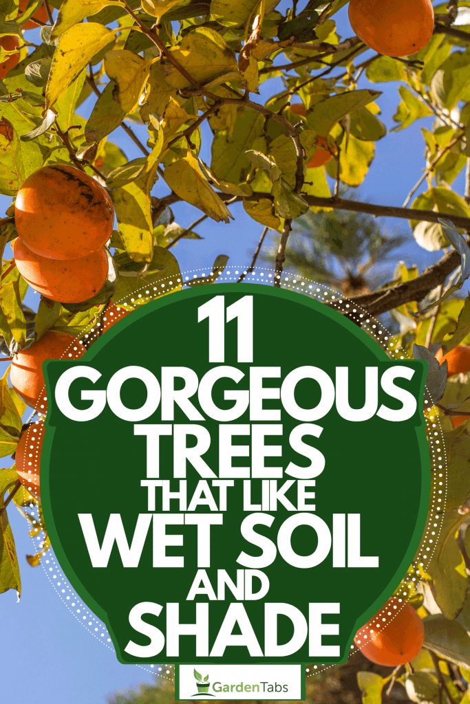 A persimmon tree with ripe fruits in its branches, 11 Gorgeous Trees That Like Wet Soil And Shade