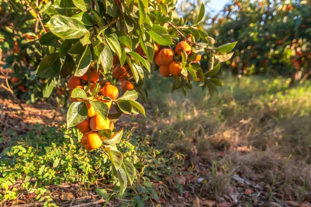 A field filled with persimmon trees bearing ripe fruits