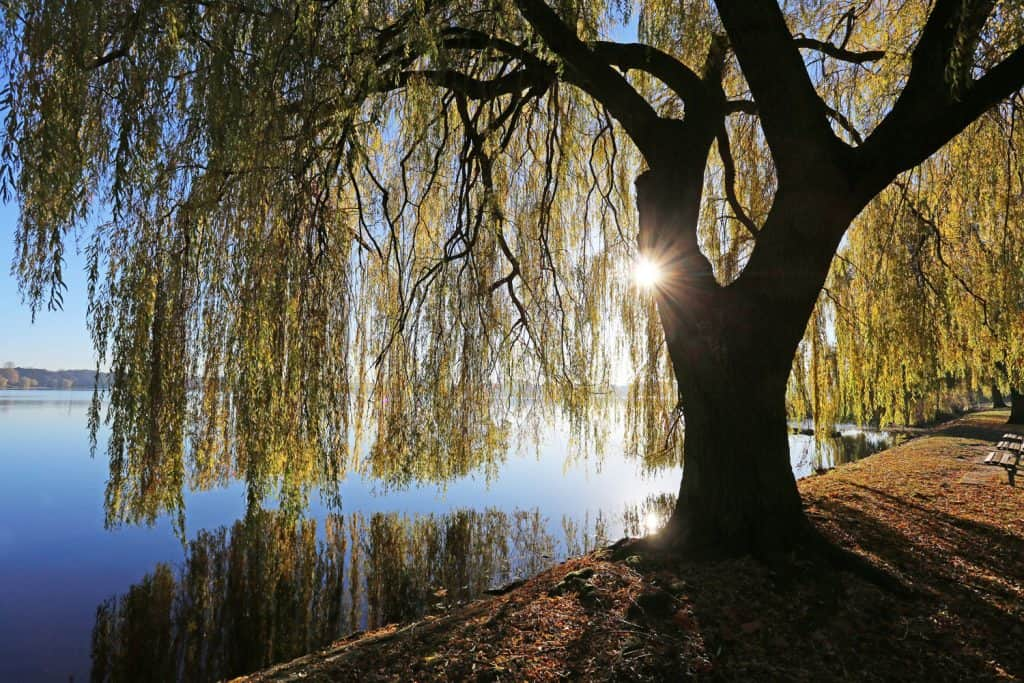 A gorgeous walloping willow tree photographed near the river