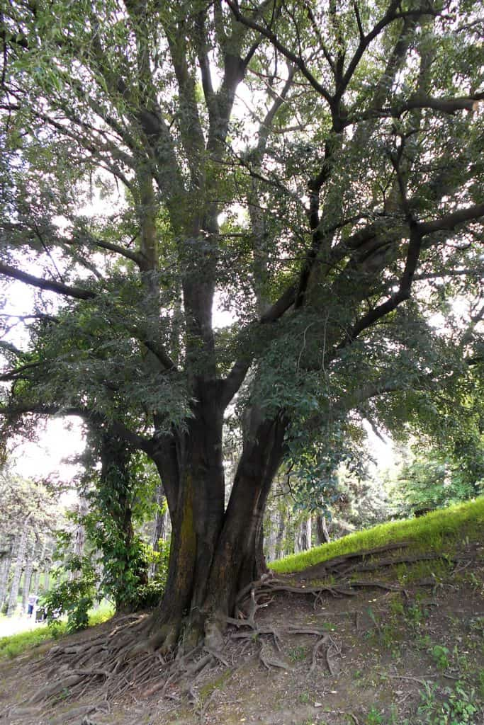A huge hackberry tree photographed on a sunny day