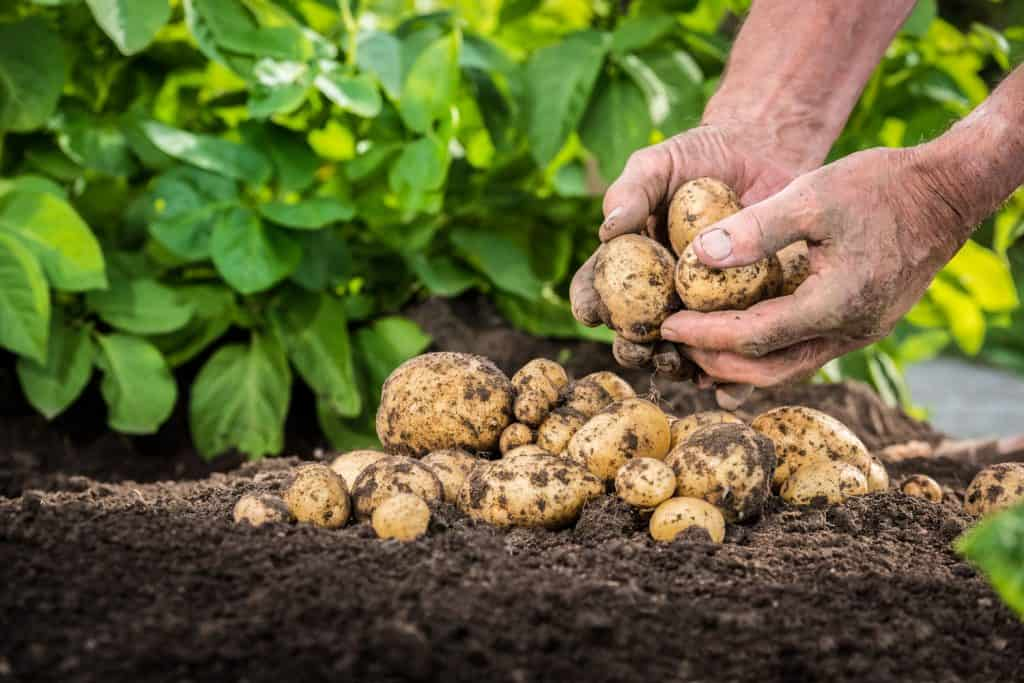 A man picking up freshly harvested potatoes