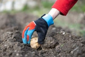 Read more about the article What's The Best Soil For Growing Potatoes?