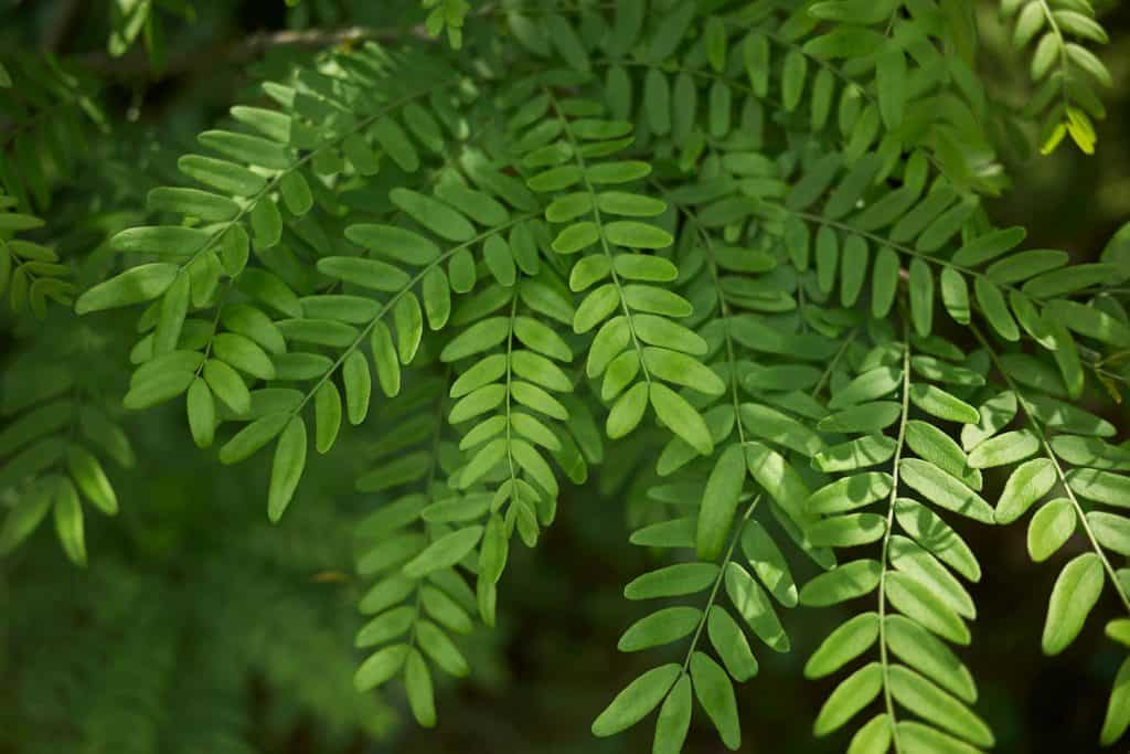 A detailed photographed of a thornless honey locust