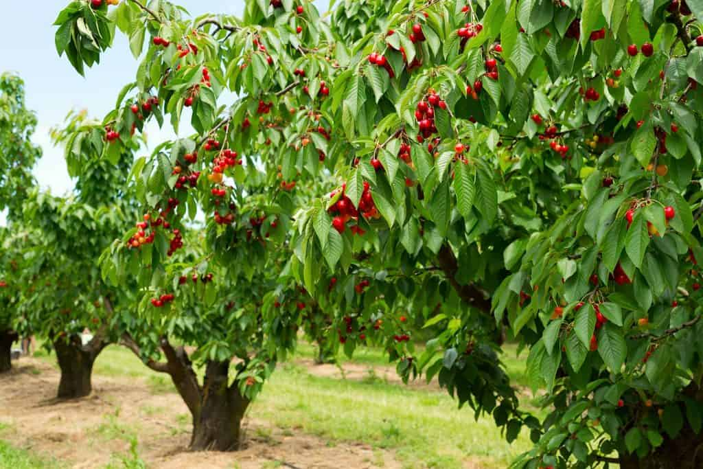 Beautiful cherry trees with cherries in orchard