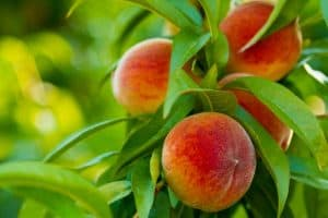 Close up of ripe peaches on a tree, 11 Best Fruit Trees To Grow In Texas