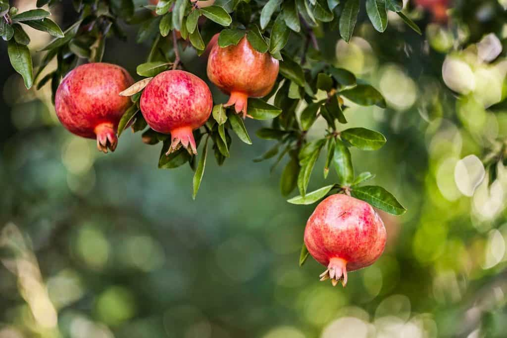Pomegranates on leaves with nice bokeh background