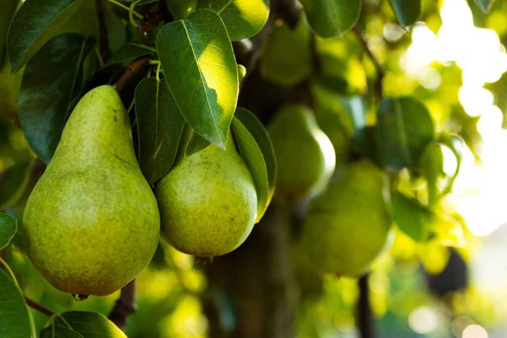 Ripe pears on a tree