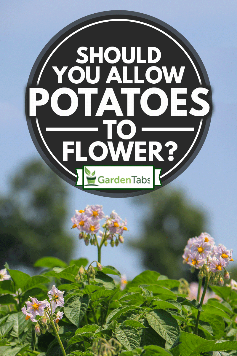 Purple potato flower on potato field, Should You Allow Potatoes To Flower?
