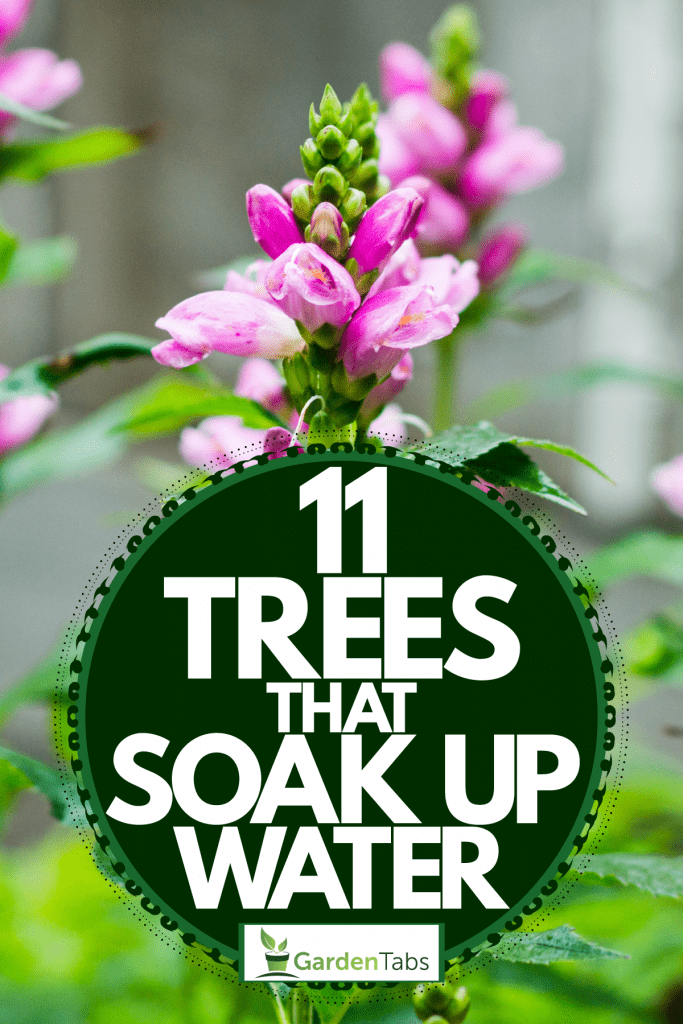 An up close photo of a pink turtlehead photographed in a garden, 11 Trees That Soak Up Water