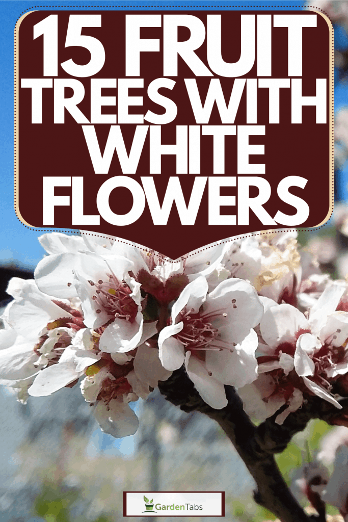 Blossoming flowers of the plum tree, 15 Fruit Trees With White Flowers