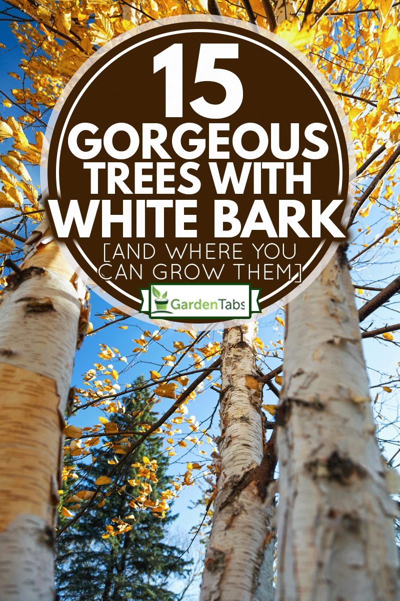 Low angle view of colorful Paper Birch trees in Autumn, 15 Gorgeous Trees With White Bark [And Where You Can Grow Them]