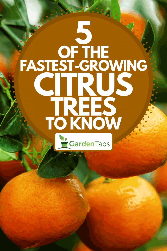 Branch with bright orange tangerines on a tree, 5 Of The Fastest-Growing Citrus Trees To Know