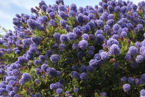 A California Lilac tree growing and blooming wildly, 11 Beautiful Trees Under 10 Feet