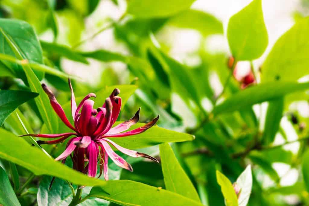 A California spicebush photographed at a garden