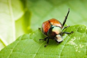 Read more about the article How To Get Rid Of Japanese Beetles [An Exploration Of 8 Methods]