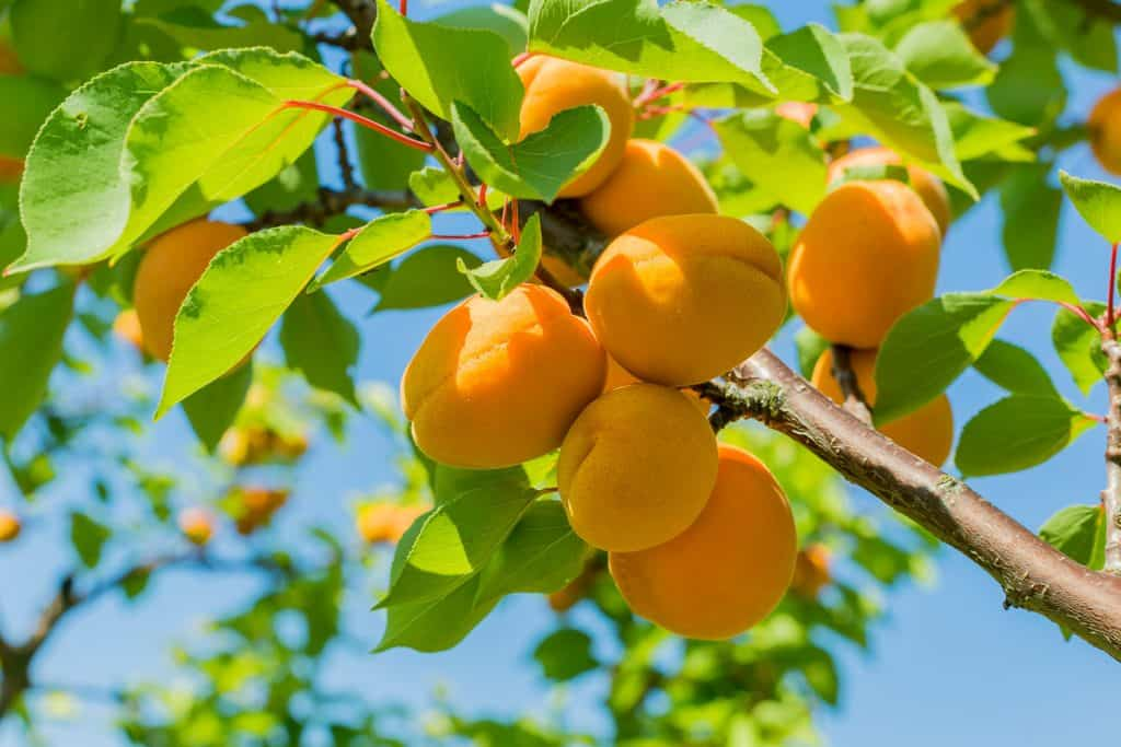 A beautiful apricot tree photographed on a sunny day