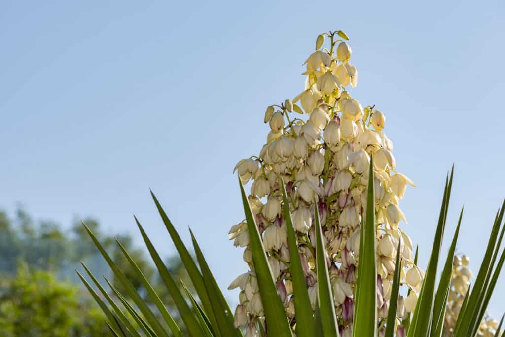 A breathtaking Yucca plant photographed outside a garden