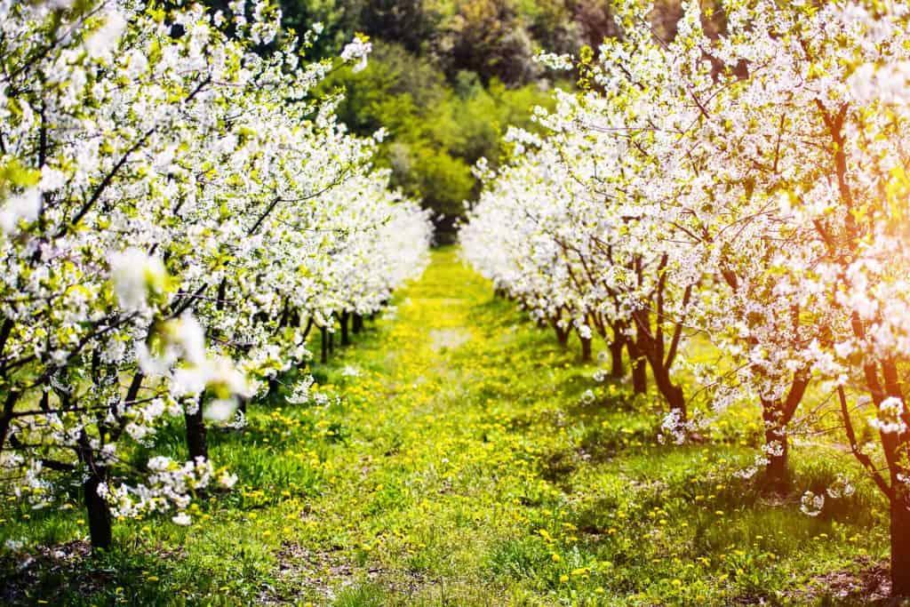 A breathtaking apple garden tree photographed on the garden