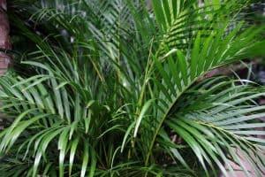 Mealybugs On Areca Palm – What To Do?