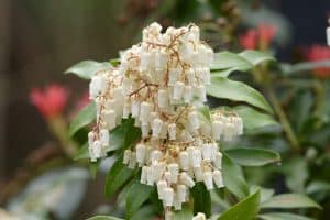 Read more about the article 15 Best Fast Growing Flowering Shrubs For Shade