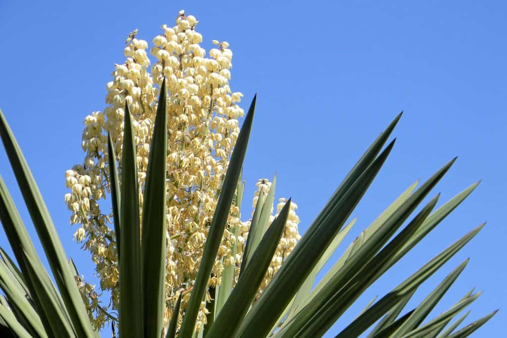 A giant Yucca plant blooming on the garden outside