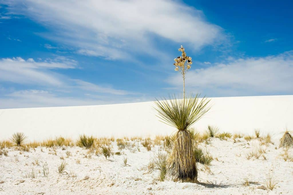 A gorgeous Yucca plant photographed on the hot desert