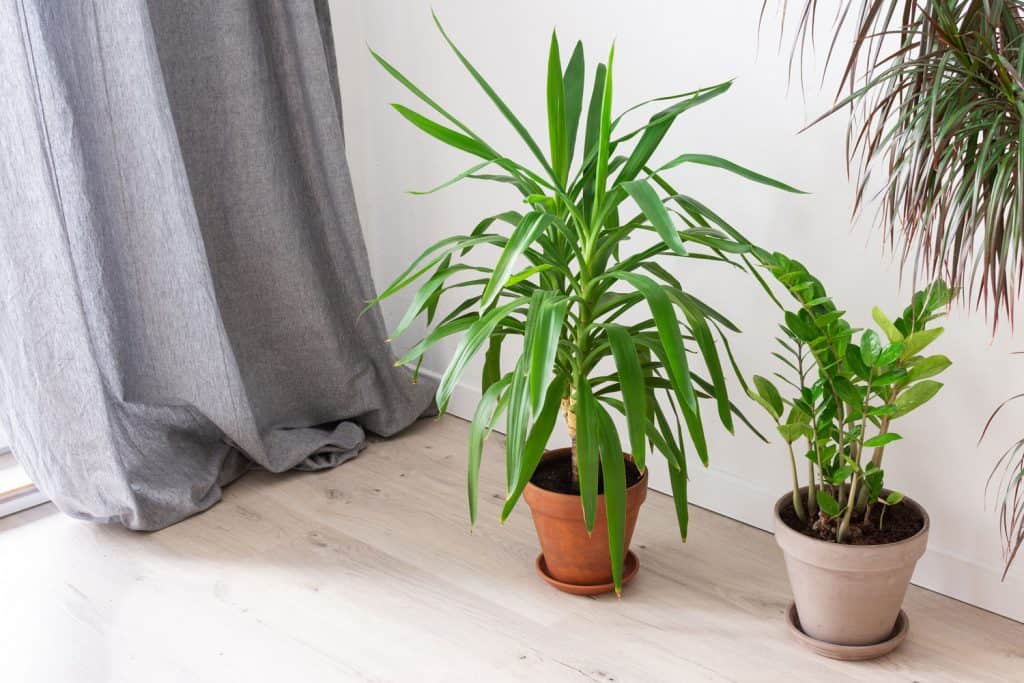 A gorgeous and healthy Yucca plant on the side of a bed, What Is The Best Soil For A Yucca Plant?