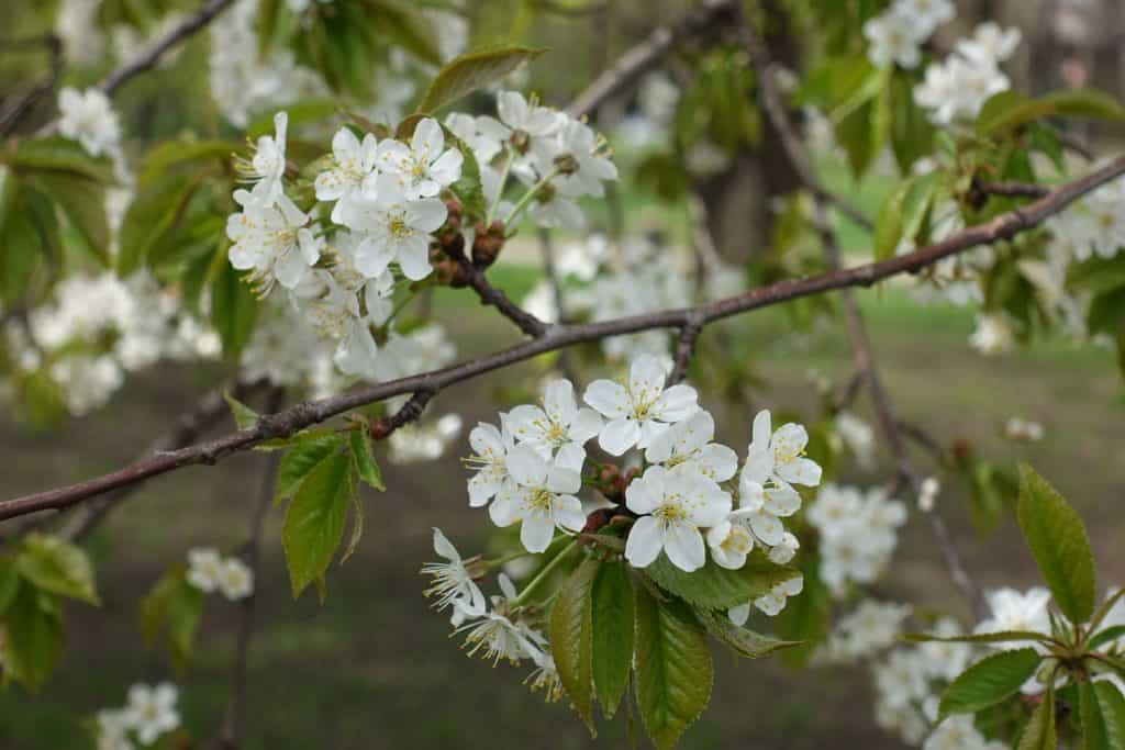 A gorgeous blossoming cherry tree photographed on a cloudy day