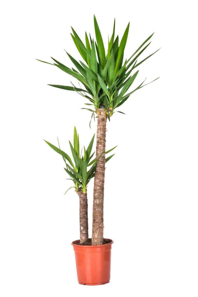 A huge Yucca plant photographed on a white background