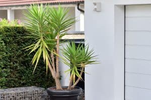 How Fast Does A Yucca Grow?