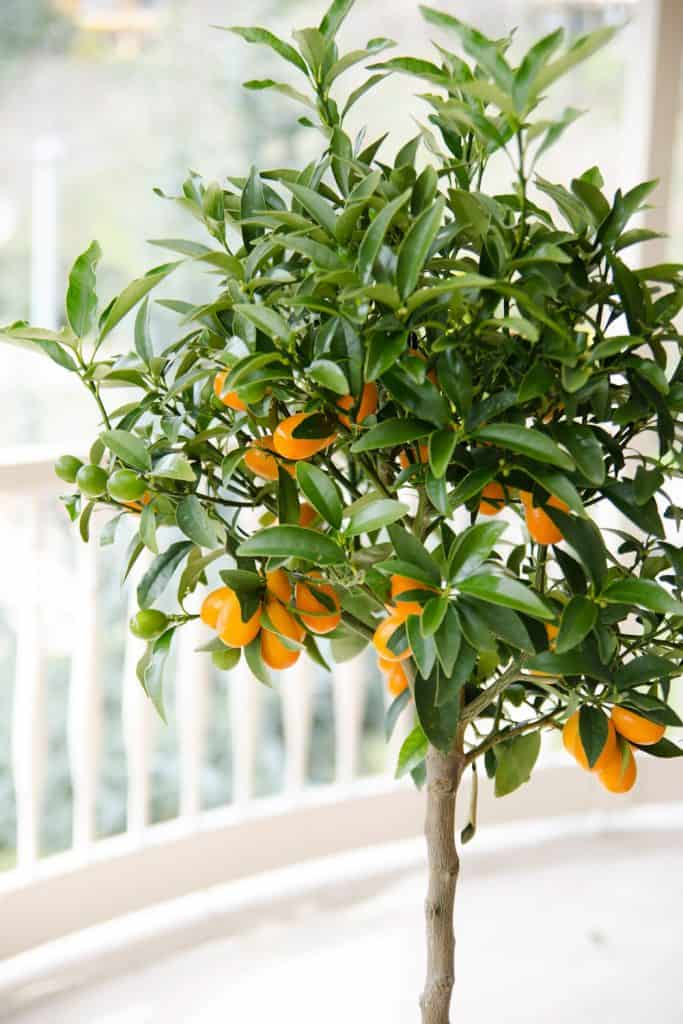 A little orange tree planted on a large pot inside a living room