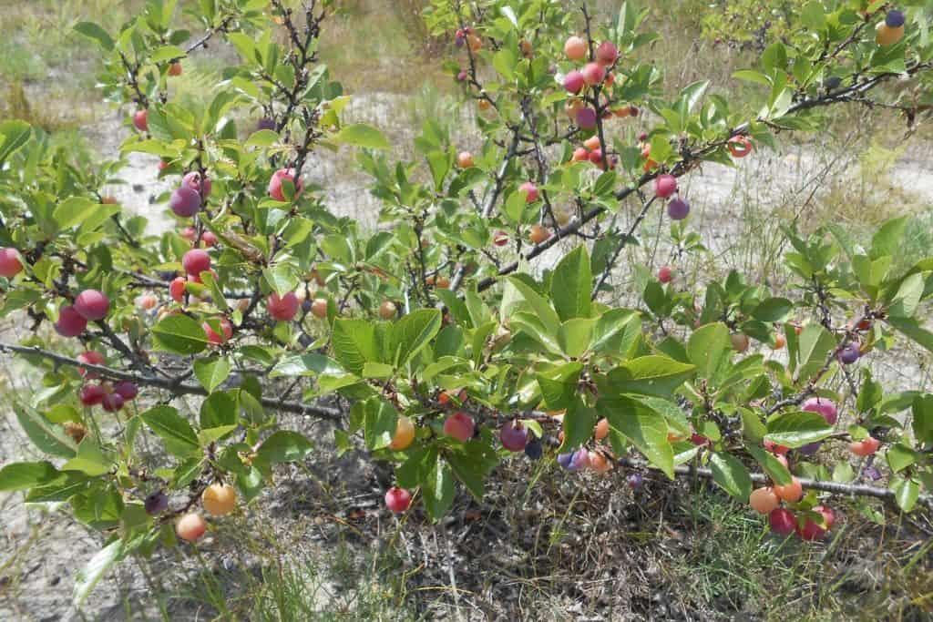 A prunus maritima or beach plum photographed on the garden