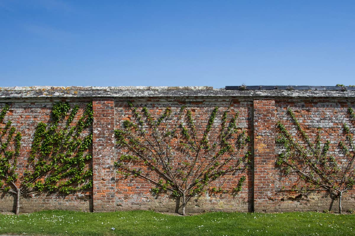 A row of fruit espalier trees that have been pruned and trained against an old brick wall in an ornamental, walled garden