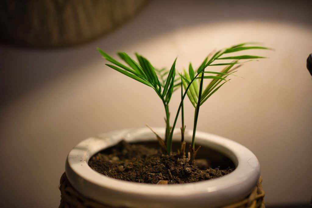 A small Areca Palm tree planted on a vase inside a living room