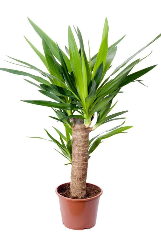 A small Yucca on a small brown pot