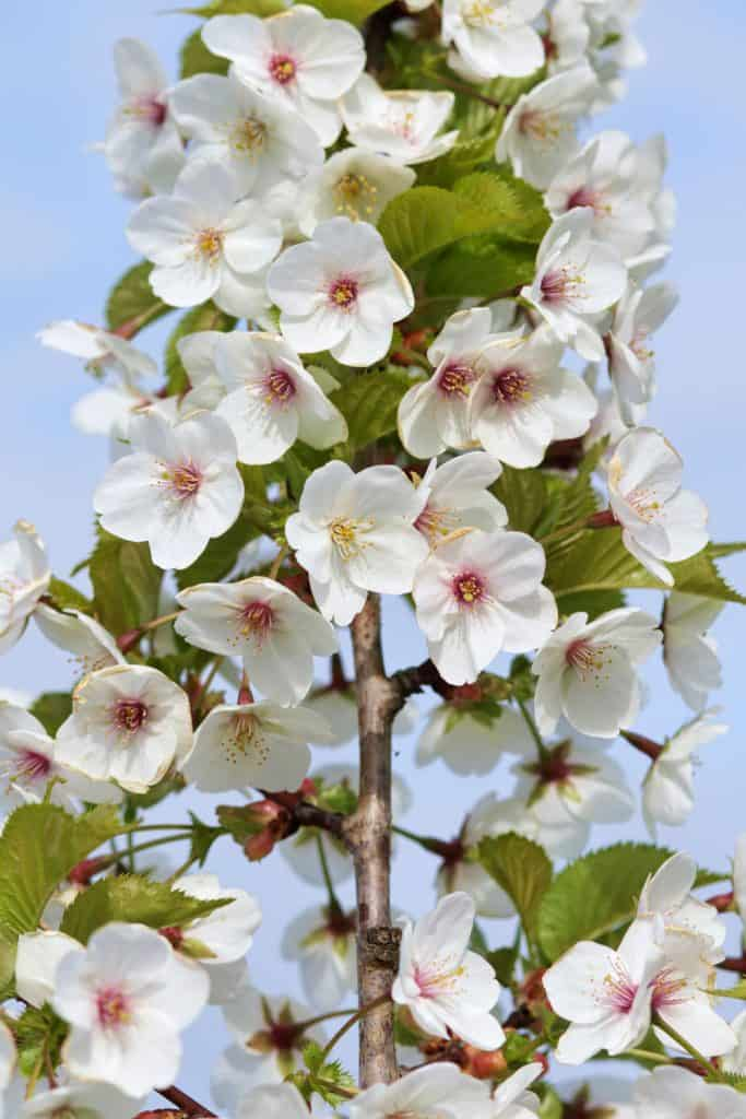 A stunning snowy white cherry blossom prunus photographed on the garden