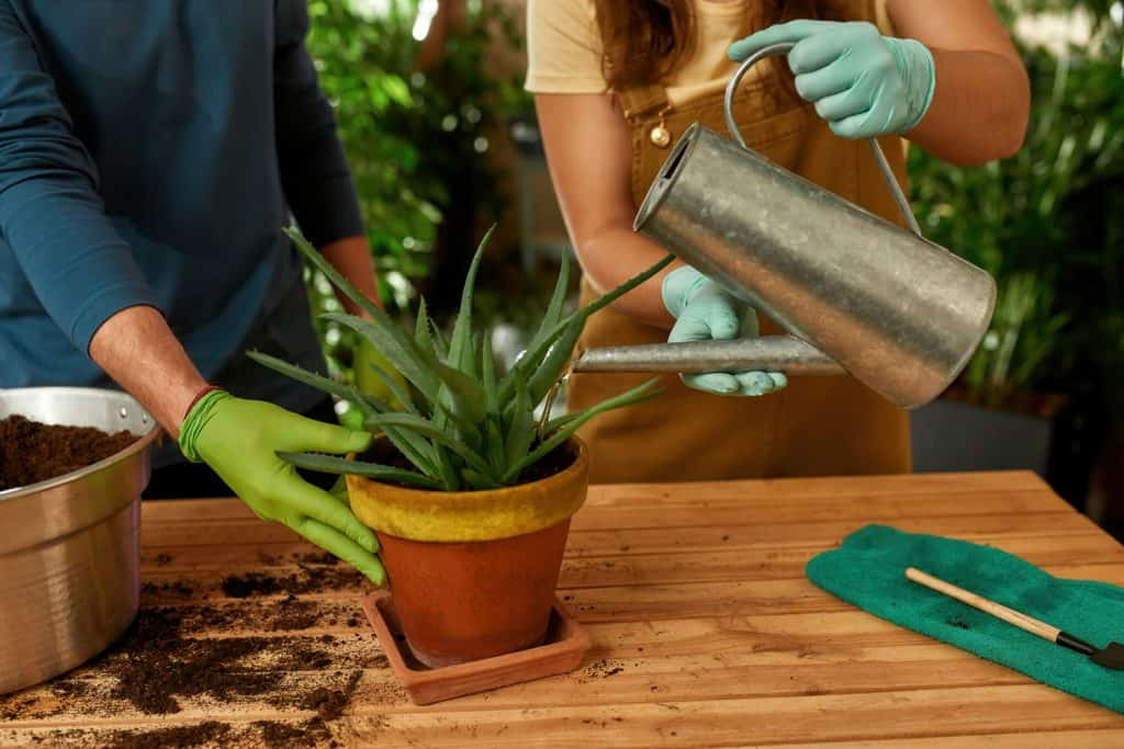 A woman pouring water into the aloe vera planted on a clay pot