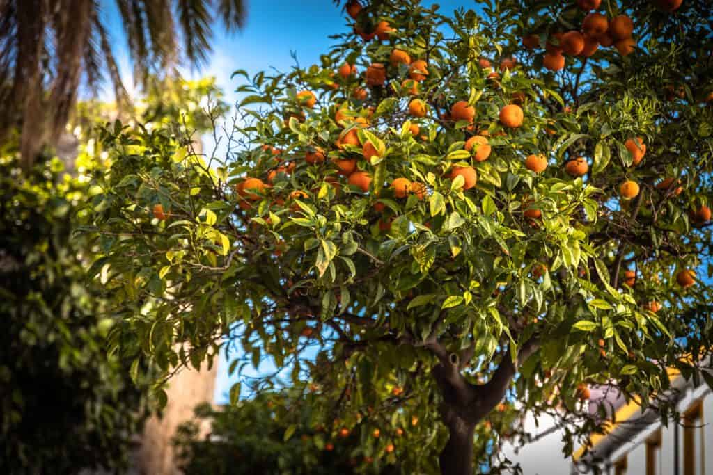 A photo of an orange tree on the backyard