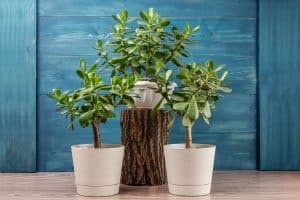 An up close photo of a Jade plant planted on white ceramic pots and on top of a wooden log, 11 Low Maintenance Indoor Trees To Consider